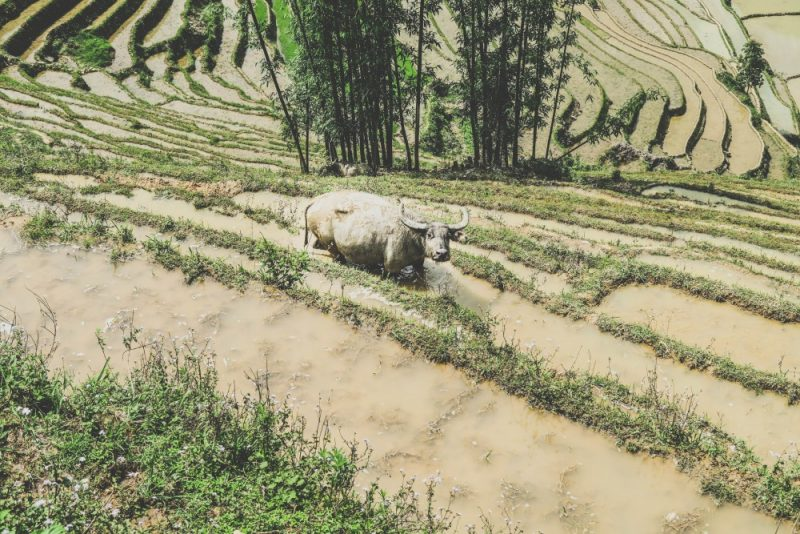 There where buffalo's like this one everywhere in the rice fields.